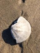 Small sand dollar